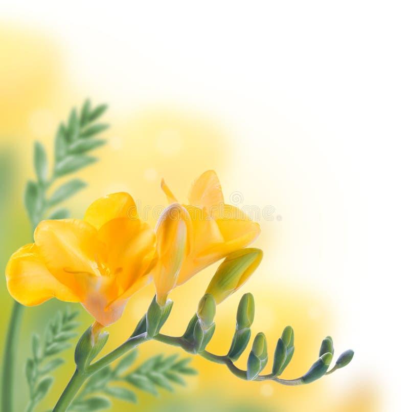 Download Первоцвет весны желтый, флористический Стоковое Фото - изображение насчитывающей бело, первоцвет: 40579952