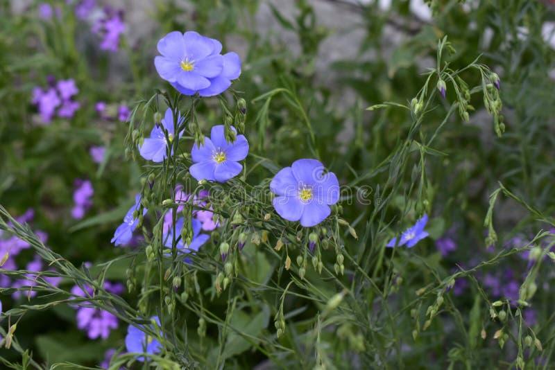 Первоцвет вечера цветка и голубой лен стоковые фотографии rf