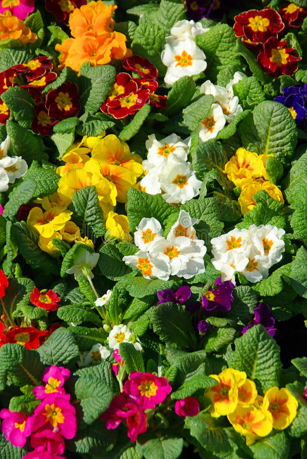 Первоцвет стоковое фото rf