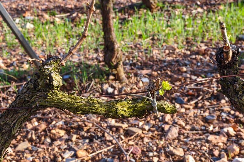 Первые листовки на виноградном вине стоковое изображение rf