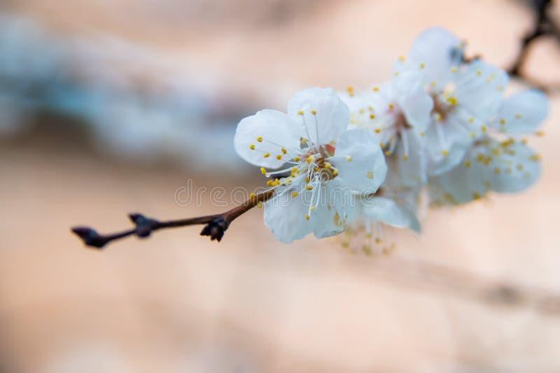 Первые цветки абрикоса Цветя абрикос на ясный весенний день стоковое фото
