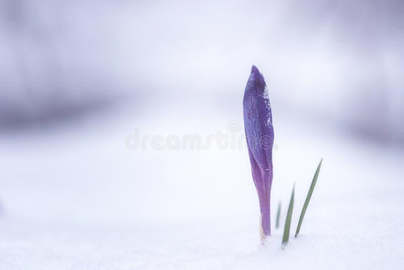 Первые цветки весны - фиолетовые крокус или шафран в снеге, предпосылка природы стоковое фото
