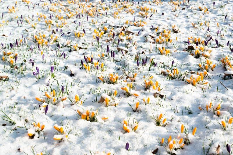 Цветки крокуса в снежке стоковое изображение rf