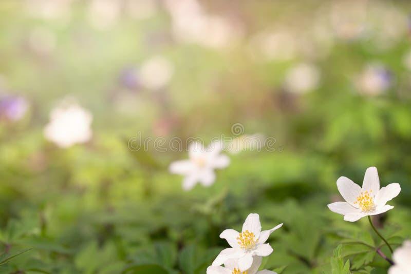 Первые цветки леса весны стоковая фотография
