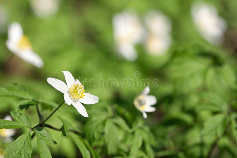 Первые цветки леса весны стоковое фото