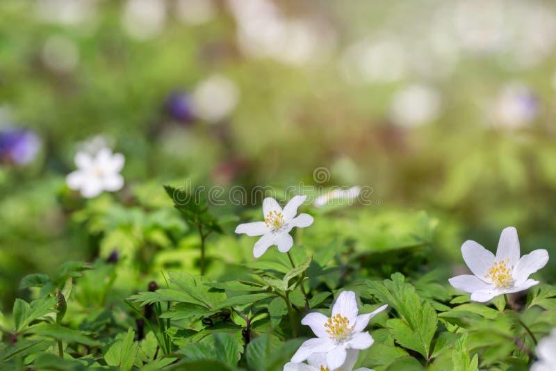 Первые цветки леса весны стоковое изображение rf