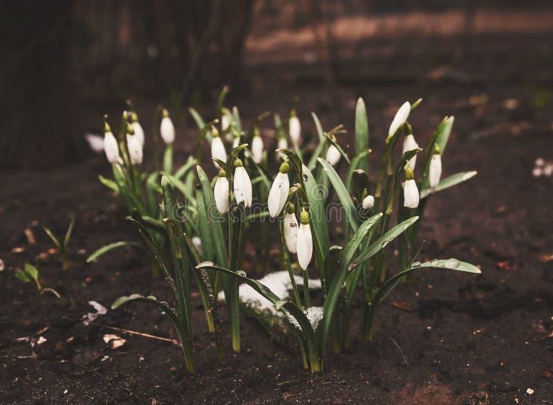 Первые snowdrops появились из-под снега, ретро, года сбора винограда стоковые изображения rf