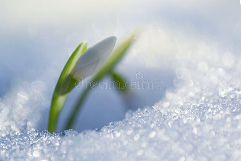 Первые snowdrops стоковая фотография rf