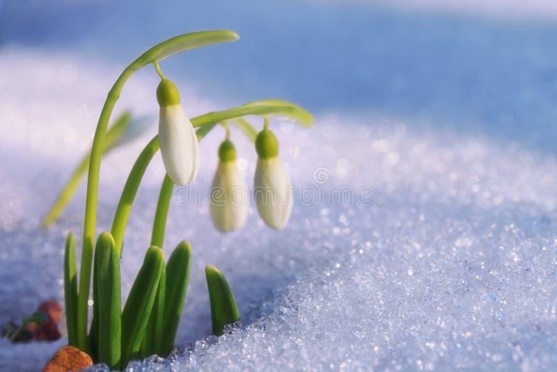 Первые snowdrops стоковая фотография