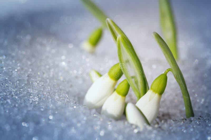 Первые snowdrops стоковое фото
