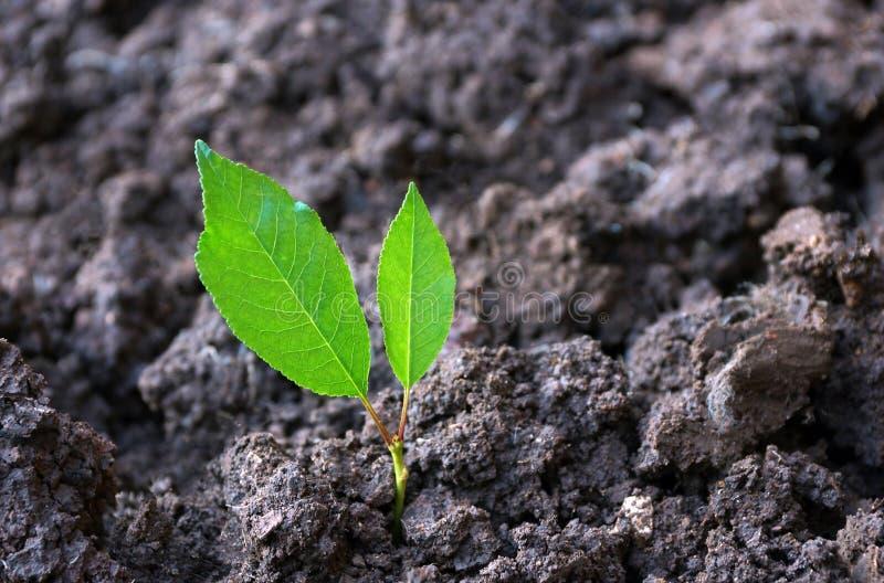 первый росток от земных 2 зеленых листьев Концепция o стоковые изображения