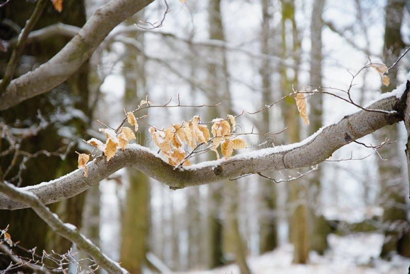 Первый снег покрывал потерянные листья деревьев бука Лес бука стоковая фотография rf