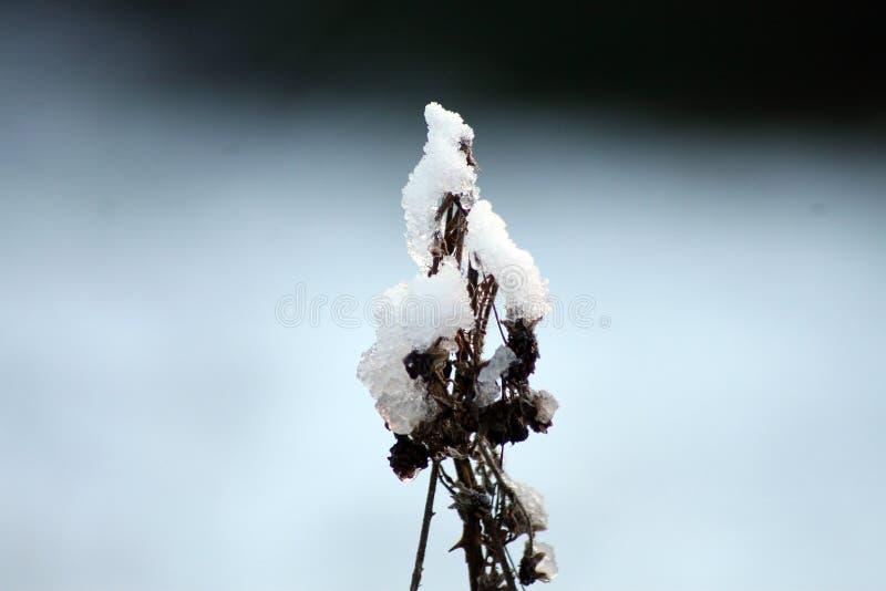 первый снежок 3 стоковая фотография rf