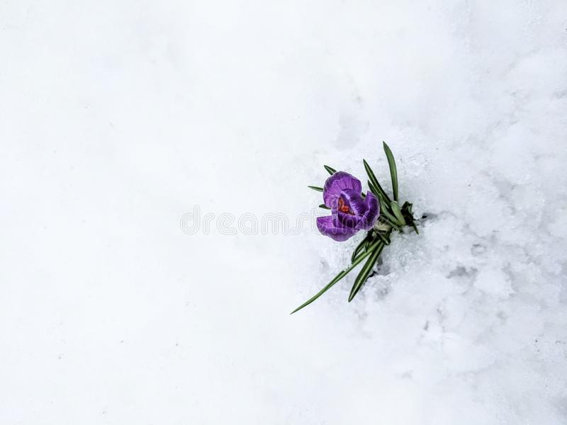 первый цветок стоковые фотографии rf