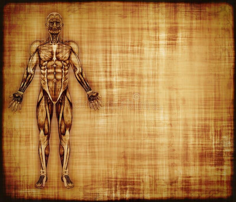 Пергамент с анатомированием мышцы иллюстрация штока