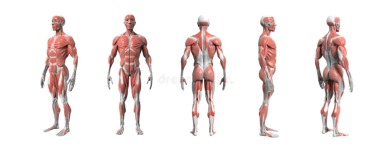 Перевод системы 3d человеческой анатомии мышечный бесплатная иллюстрация