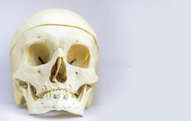 Передний анатомический взгляд человеческой косточки черепа с подклювьем и свода черепа в изолированной белой предпосылке с космос стоковые фотографии rf