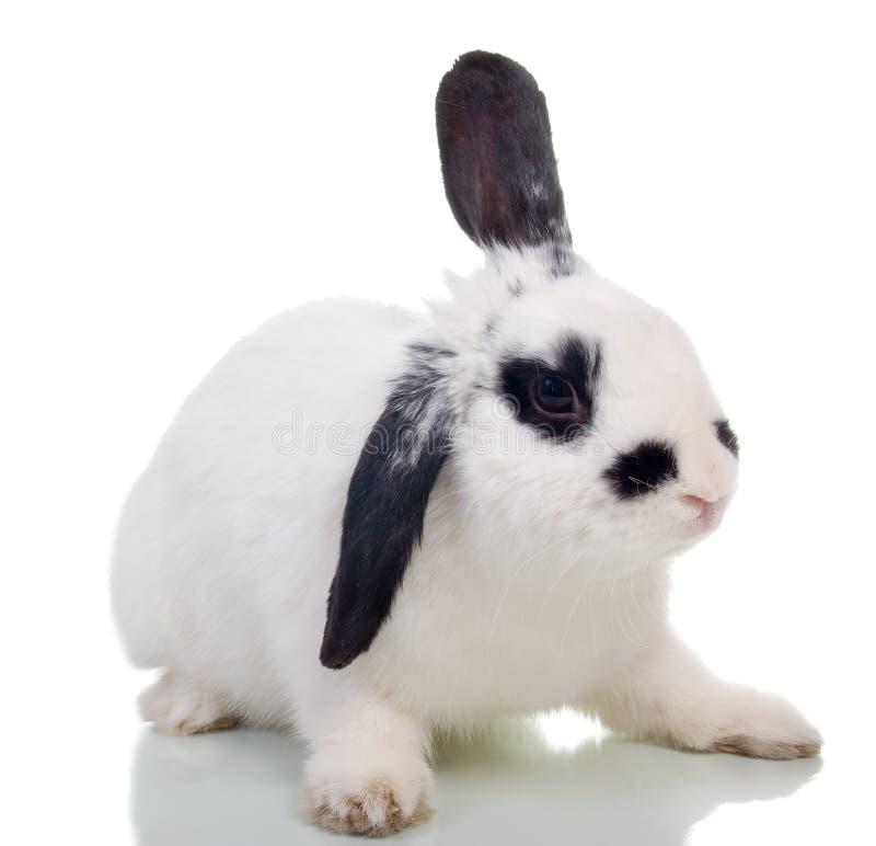 передняя белизна кролика стоковые фотографии rf