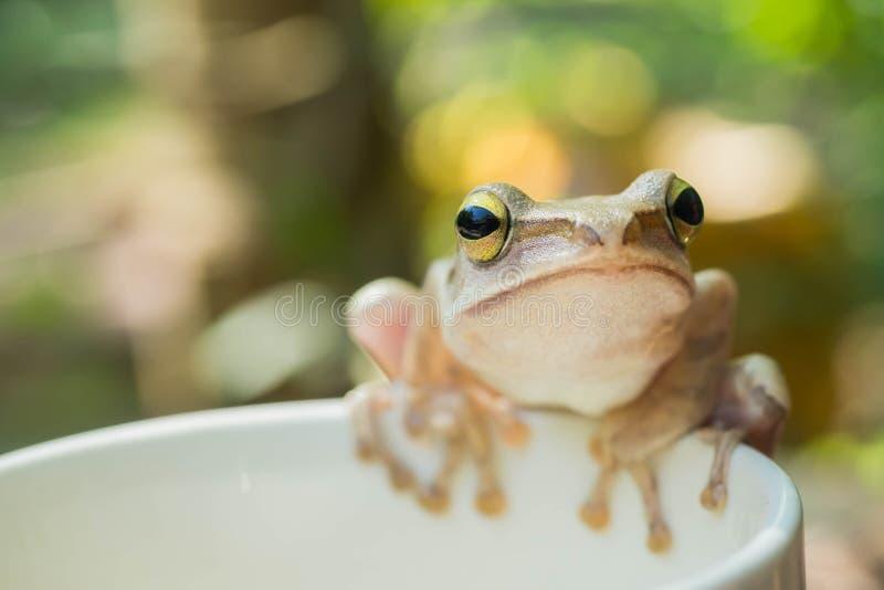 Перед белой древесной лягушкой на чашке кофе стоковые изображения