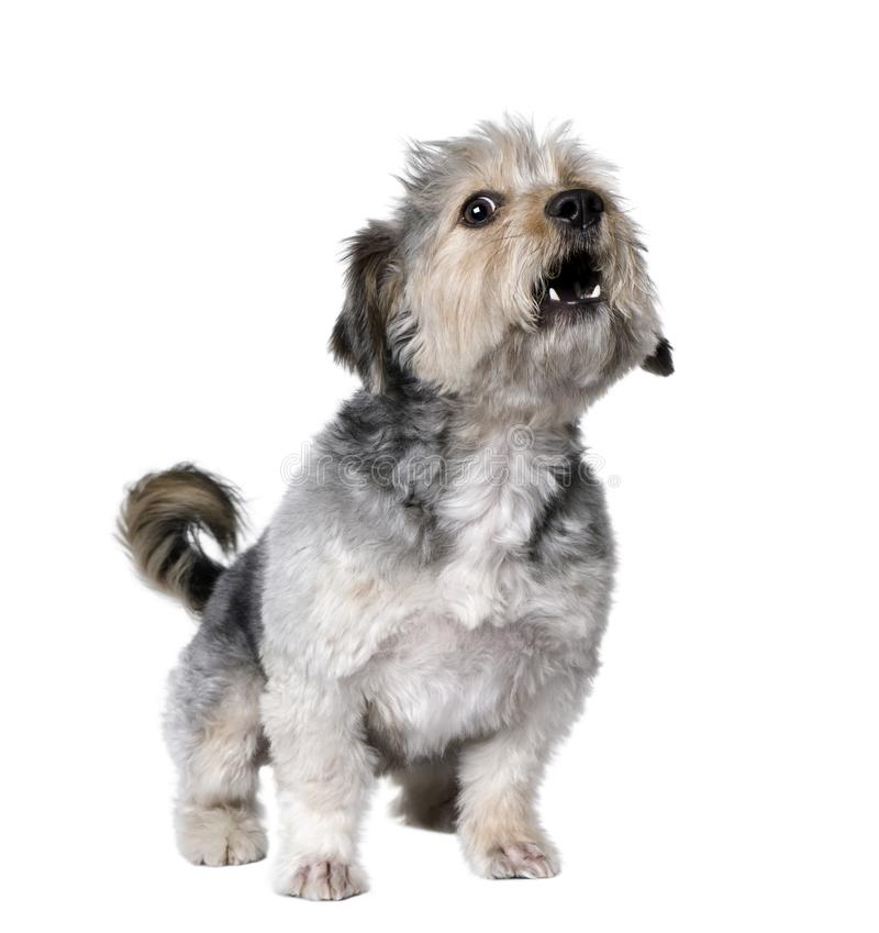 Перекрестная собака лаяя, 4 лет породы старого стоковое фото rf