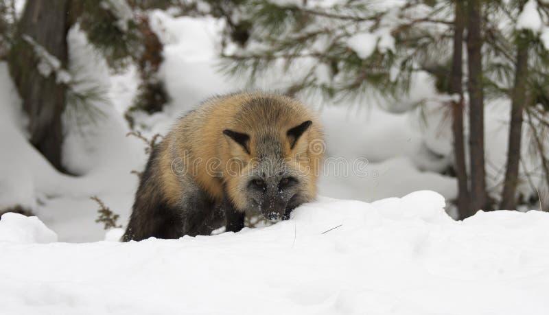Перекрестное звероловство лисы для еды в глубоком снеге с вечнозелеными деревьями внутри стоковая фотография