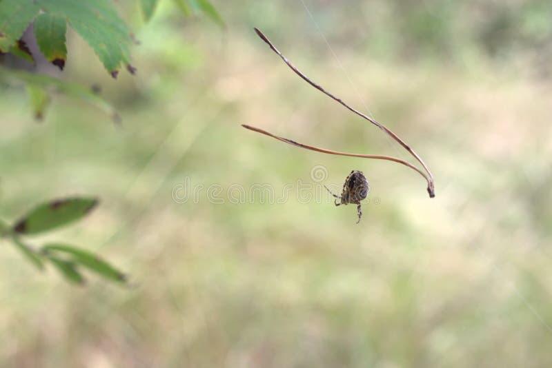 Перекрестный паук Orbweaver ухищренно вытягивает вне паутину от himsel стоковое изображение rf