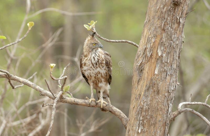 Переменчивый орел ястреба на запасе тигра Tadoba Andhari, махарастре, Индии стоковая фотография rf
