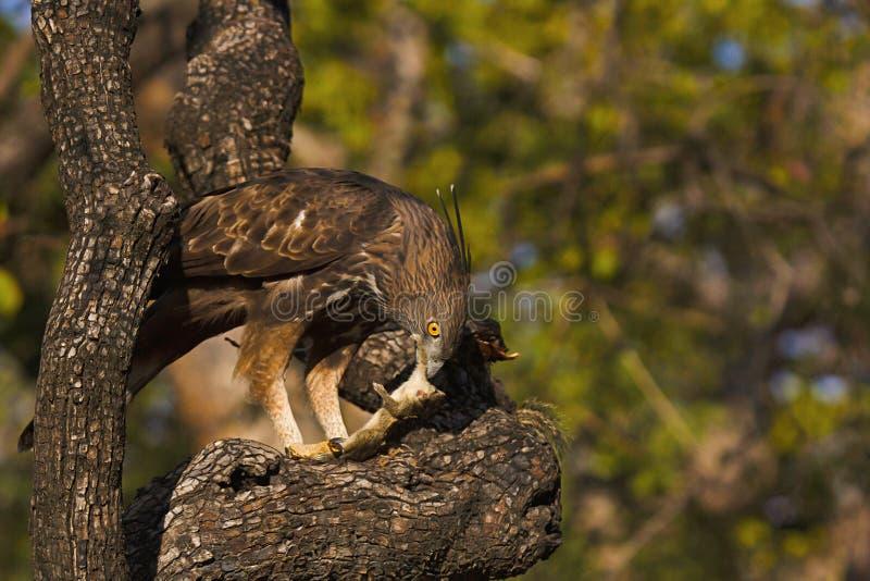 Переменчивый хоук-орел, cirrhatus Nisaetus, запас тигра Panna, Madhya Pradesh, Индия стоковое фото
