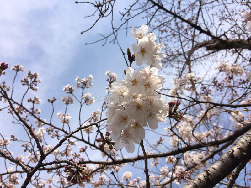 Перемещение Сакуры Осака Kansai Японии стоковые изображения