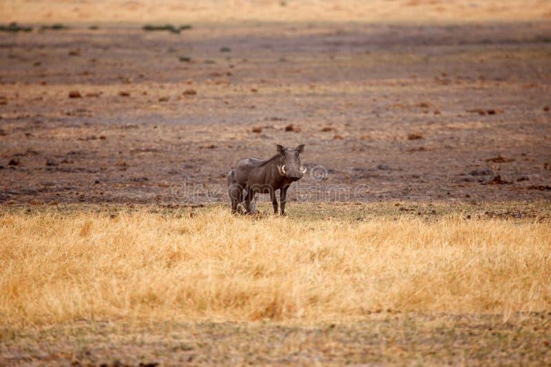 Перепад Warthog - Okavango - Moremi n P стоковые изображения