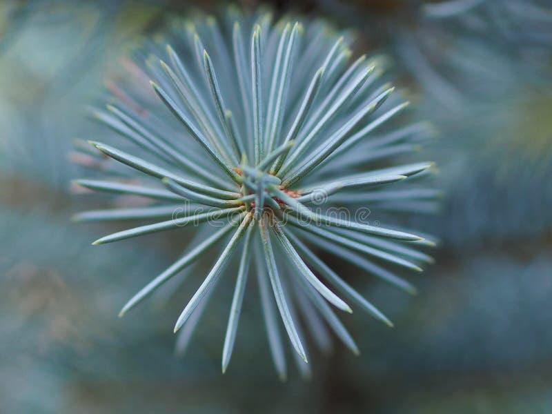 Переплетенные иглы голубой сосны стоковое изображение