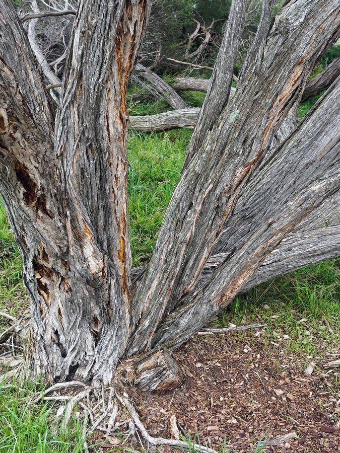 Переплетенные и Gnarled австралийские родные деревья стоковые изображения