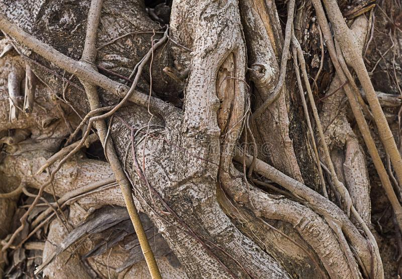 Переплетенные корни старого ствола дерева выдержали фантастическое основание текстуры предпосылки стоковая фотография