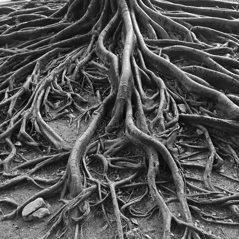 Переплетенные корни очень старого дерева стоковые фотографии rf