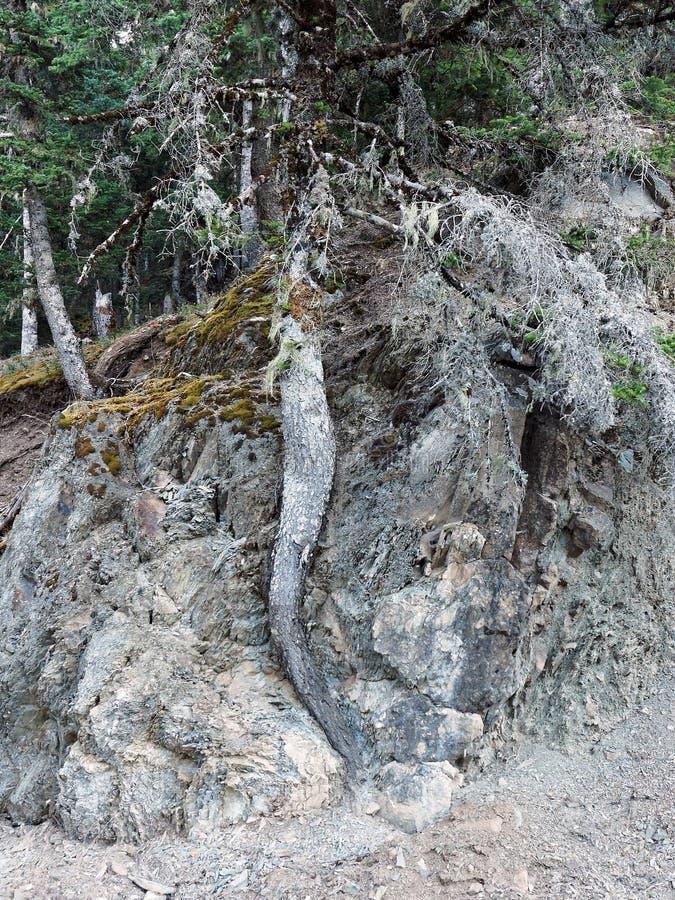 Переплетенный ствол дерева растя через утес стоковые изображения rf