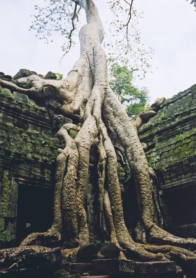 перерастанное angkor wat виска руин стоковая фотография rf