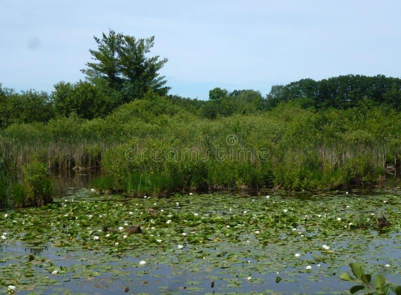 Перерастанный пруд стоковое изображение rf
