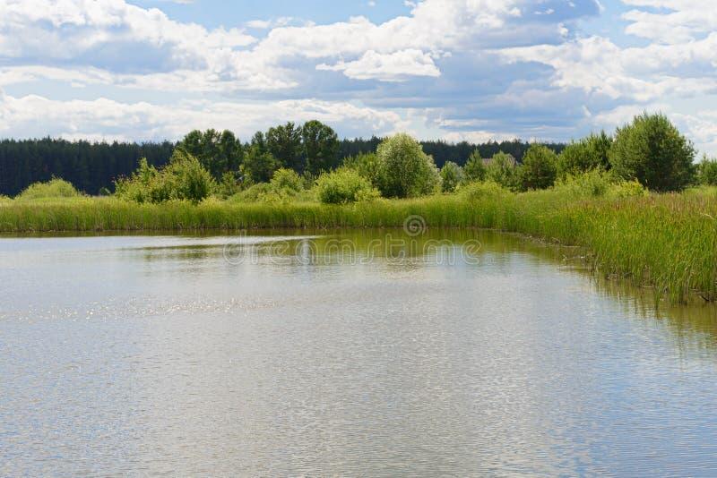 Перерастанный с берегом озера тростников на солнечный день стоковое фото