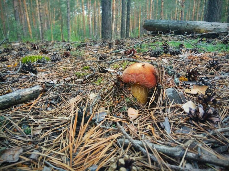 перерывы гриба подосиновика из-под упаденных игл в сосновом лесе стоковая фотография