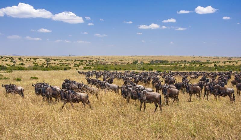 Переселение Wildebeest, Masai Mara стоковые изображения rf