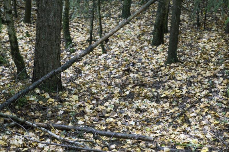 Переулок парка осени ландшафта осени с чуть-чуть деревьями и сухими упаденными красочными листьями стоковые фотографии rf