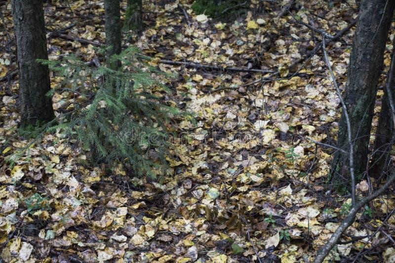 Переулок парка осени ландшафта осени с чуть-чуть деревьями и сухими упаденными красочными листьями стоковое фото rf