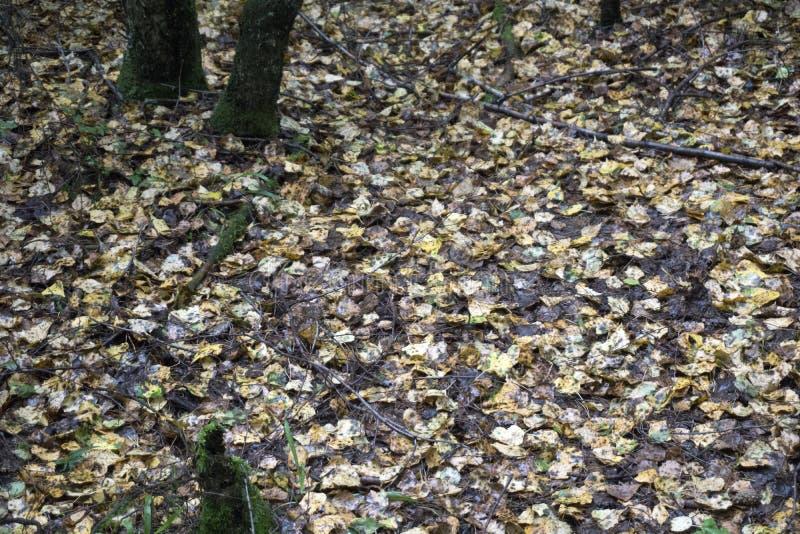 Переулок парка осени ландшафта осени с чуть-чуть деревьями и сухими упаденными красочными листьями стоковая фотография rf