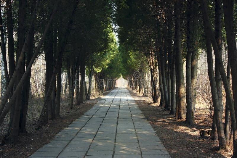 Переулок парка с парком thujas весной стоковые фото