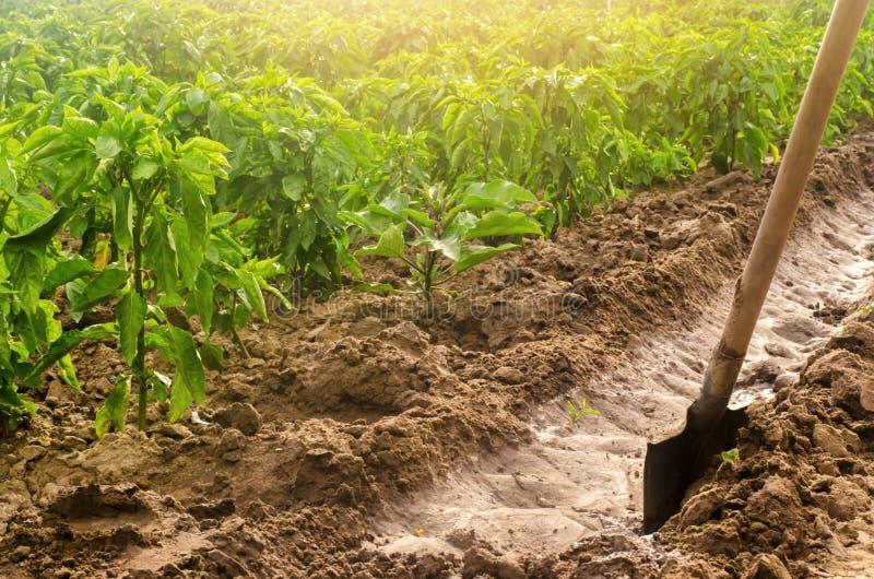 Перец плантации и канал полива с лопаткоулавливателем традиционный метод мочить поля Культивирование, забота перца стоковые изображения rf