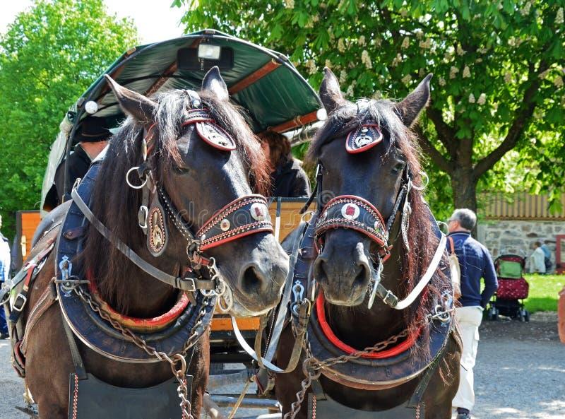Переднее фото лошадей обузданных к экипажу стоковые изображения