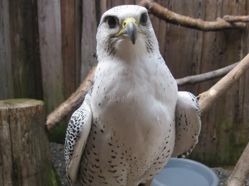 Передняя и разбивочная хищная птица стоковые фото