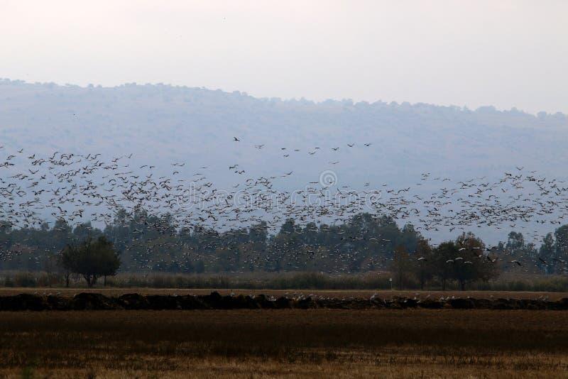 Download Перелётные птицы на озере Hula Стоковое Изображение - изображение насчитывающей биографической, израиль: 81811555