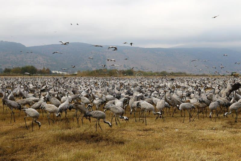 Download Перелётные птицы на озере Hula Стоковое Изображение - изображение насчитывающей небо, размещено: 81812553