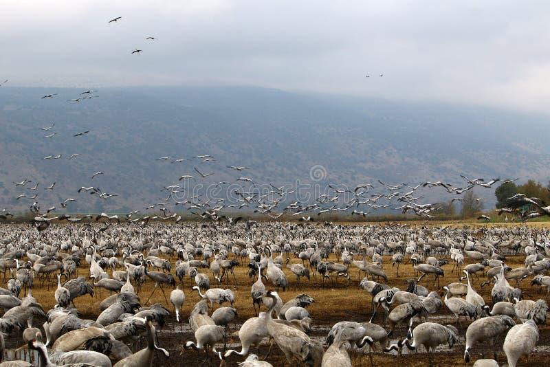 Download Перелётные птицы на озере Hula Стоковое Фото - изображение насчитывающей северно, размещено: 81813188